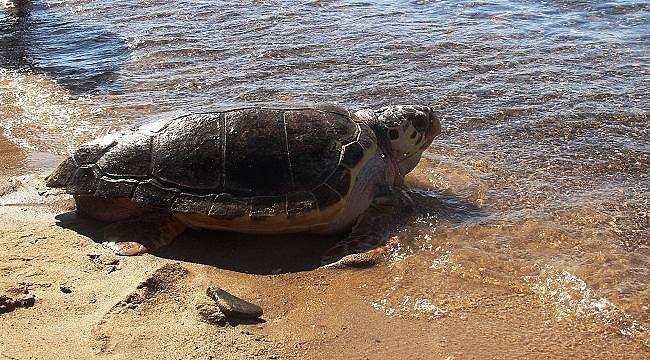 Dünya Deniz Kaplumbağaları Günü