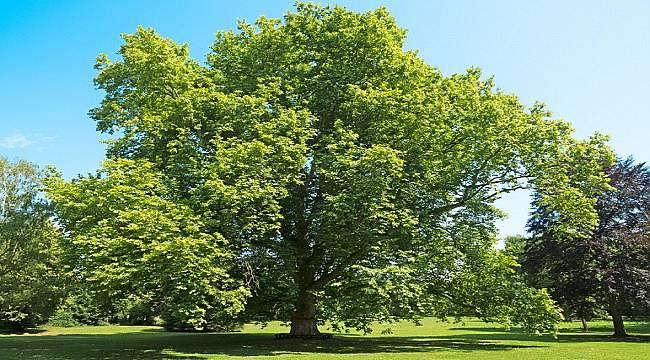Sağlıklı bir ağacın ne kadar tozu tuttuğunu biliyor musunuz?
