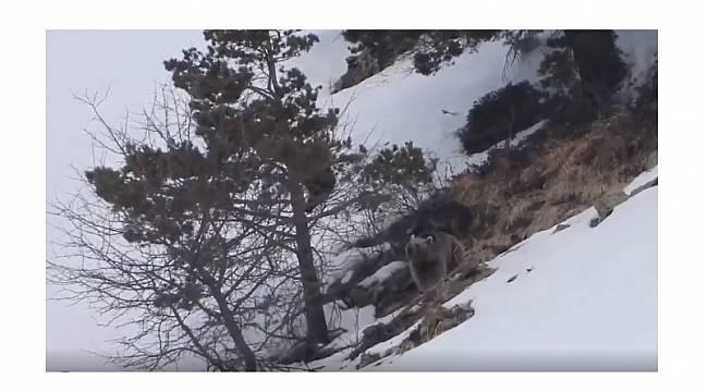 Doğal yaşamdan... Boz ayı ve yavruları!