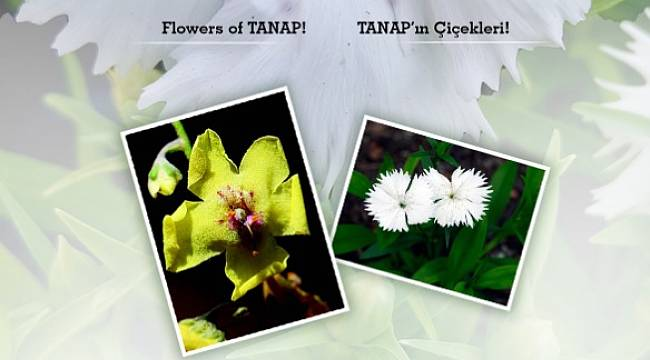 Flowers of TANAP